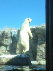 KC Zoo Polar Bear